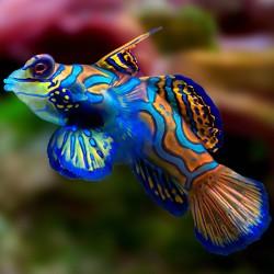 Synchiropus splendidus - мандаринка синяя