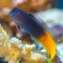Ecsenius bicolor - двухцветный эксен