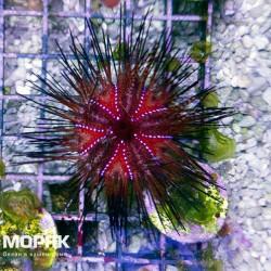 Astropyga radiata - морской еж красный диадемовый