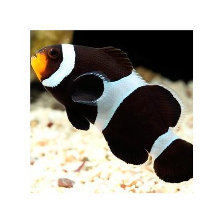 Amphiprion ocellaris black