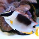 Siganus (Lo) magnifica - рыба-лиса великолепная