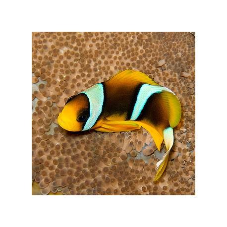 Amphiprion allardi (рыба-клоун Алларда)