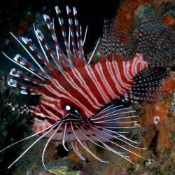 Pterois antennata (рыба-крылатка)