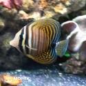 Zebrasoma desjardini - зебрасома парусная Дежардена