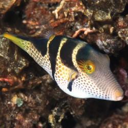 Canthigaster valentini (иглобрюх чернополосый)