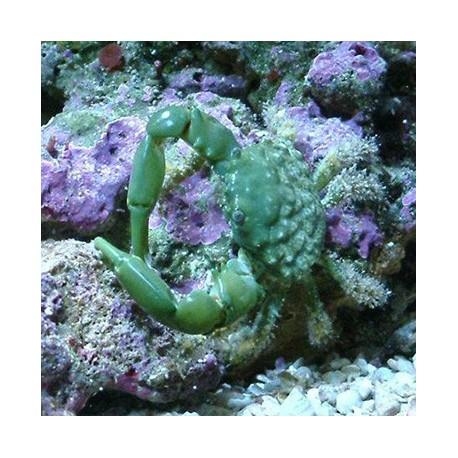 Mithrax sculptus - изумрудный краб