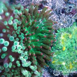 Зеленая актиния квадриколор с фиолетовыми кончиками - Entacmaea Quadricolor