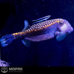 Ostracion meleagris - синий кузовок