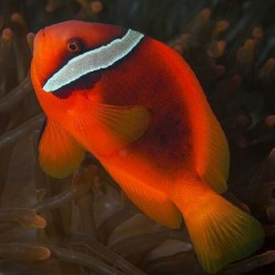 Amphiprion Frenatus (томатный клоун)