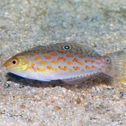 Halichoeres Timorensis (тиморский тамарин)