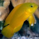 Pseudochromis aureus (псевдохромис золотистый)