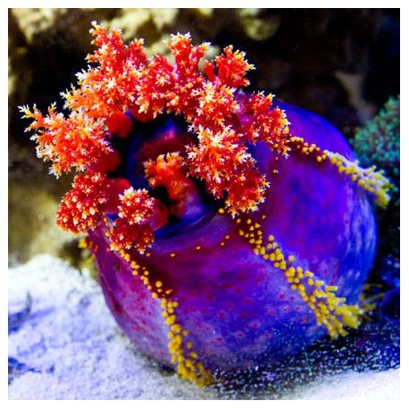Pseudocolochirus violaceus (голотурия морское яблоко)