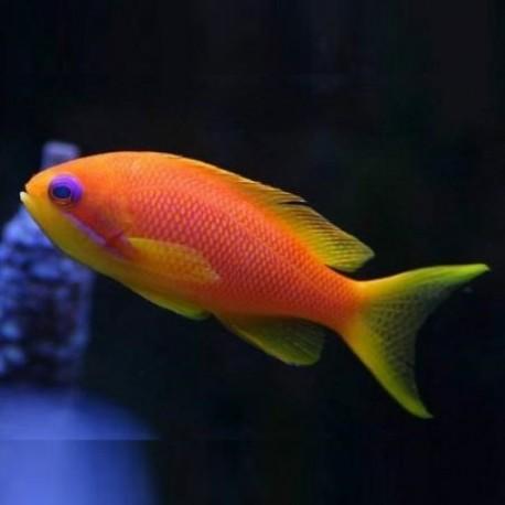 Pseudanthias squamipinnis - псевдоантиас (female)