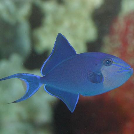 Odonus niger (спинорог синий)