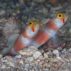 Amblygibius Aurora (бычок пятнистоголовый)