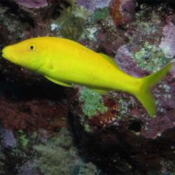 Parupeneus yellow (желтый сом)