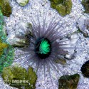 Cerianthus (цериантус темный)