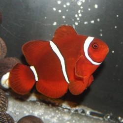 Premnas biaculeatus (мавританский клоун)