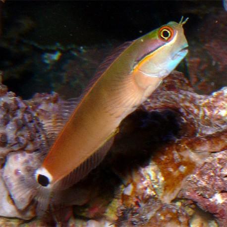 Ecsenius stigmatura (собачка пятнистохвостая)