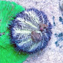 Astropyga sp. (голубой еж)