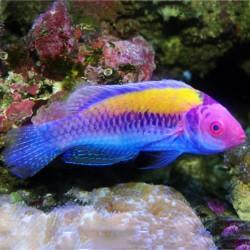 Cirrhilabrus aurantidorsalis (оранжевоспинный циррилабрус)