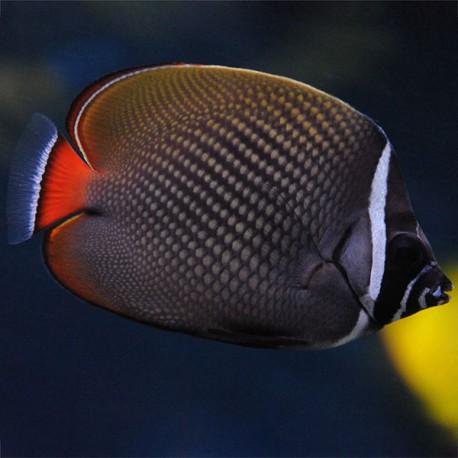 Chaetodon collare (Пакистанская рыба-бабочка)