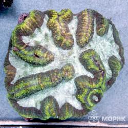 Lobophyllia sp. (лобофиллия мультиколор XL)