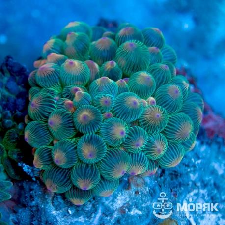 Entacmaea Quadricolor - Актиния пузырчатая