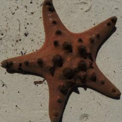 Pentaceraster alveolatus (хищная звезда)