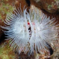 Protula bispiralis (белый веерный червь)