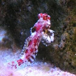Synchiropus marmoratus (мандаринка-скорпион)