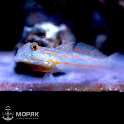 Рыба-пескоед