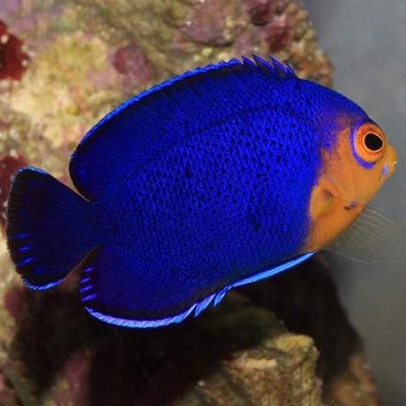 Centropyge flavicauda- центропиг фиолетовый