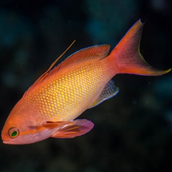 Pseudanthias squamipinnis - псевдоантиас (Индонезия)