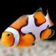 Amphiprion percula (picasso) - клоун Пикассо