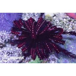 Himerometrapalmata sp. (Красная морская лилия)