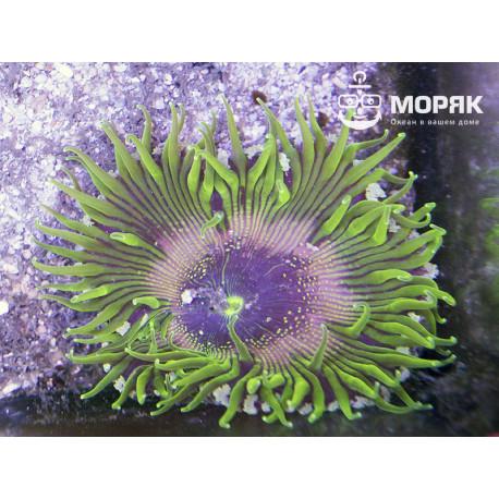 Epycistis crucifer (Rock Pool Anemone) - зеленые