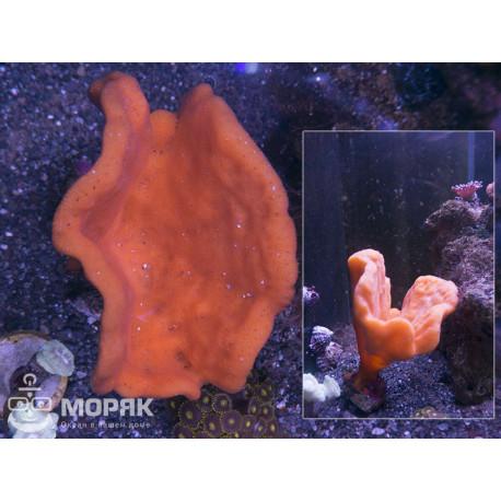 Clathria rugosa - Губка - клатрия ругоса