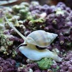 Nassarius (песчаная улитка)