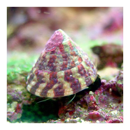 Trochus: улитка-водорослеед