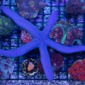 Linkia - lavigata - Blue (синяя звезда)