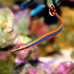 Doryrhamphus excisus - рыба-игла синеполосая