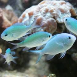 Голубой хромис виридис