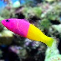 Pseudochromis paccagnellae - псевдохромис Паганель