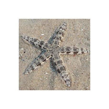Astropecten polycanthus - звезда-песчанка