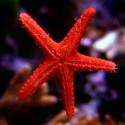 Fromia milleporella - морская звезда красная
