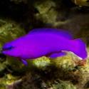Pseudochromis Fridmani (псевдохромис Фридмана)