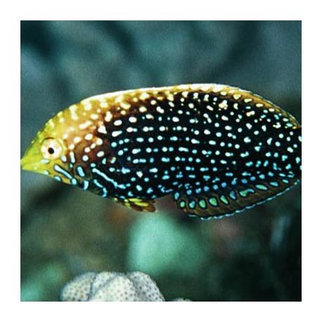 Macropharyngodon cyanoguttatus (макрофарингодон леопардовый)