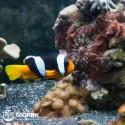 Amphiprion chrysogaster (оранжево-желтый клоун)