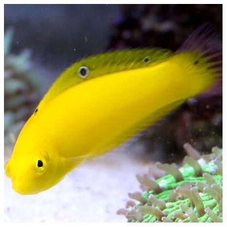 Halichoeres chrysus - тамарин желтый
